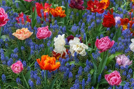beautiful pink tulip flower on floral background of blue muscari in spring garden