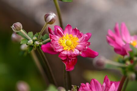 Japanese Anemone hupehensis japonica, thimbleweed windflower in summer cottage garden. Zdjęcie Seryjne