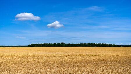 Golden wheat field with blue sky in background. Zdjęcie Seryjne