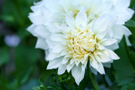 Beautiful white dahlia Cotton candy flower blossoming in summer garden