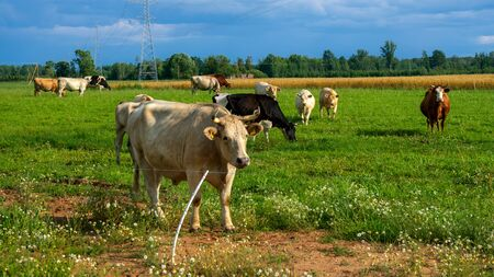 Cows grazing on green meadow with countryside landscape.