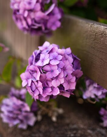 purple Hydrangea in front of the wooden fence. Stock Photo