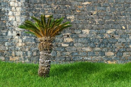 Palm tree growing in green grass field against ancient stone wall in tropical garden 스톡 콘텐츠