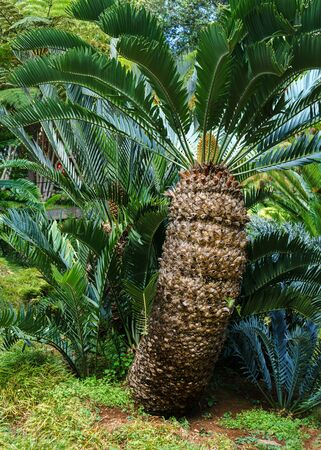 mature green palm tree in tropical garden.