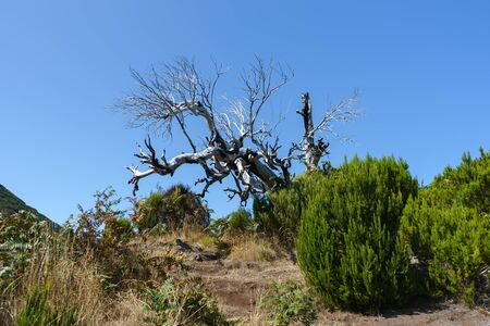 Beautiful panorama view of dead tree on trail in the mountains of Pico Ruivo, Madeira. 스톡 콘텐츠