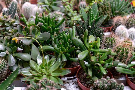 arrangement of the succulents or cactus, crassula and echeveria succulents.
