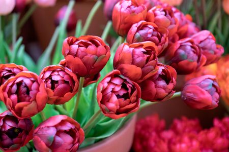 beaytiful magenta red Tulips for sale at flower market.