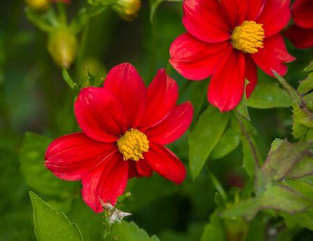Beautiful red dahlia minion in summer garden.