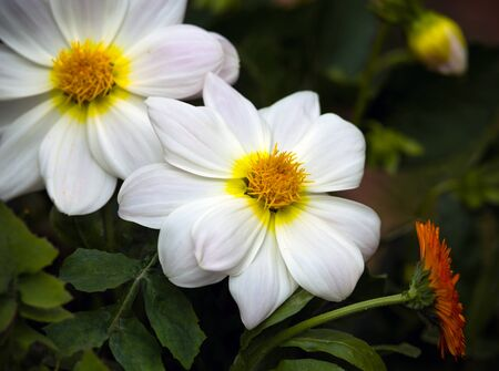 Beautiful white dahlia minion in summer garden. 스톡 콘텐츠 - 137487124