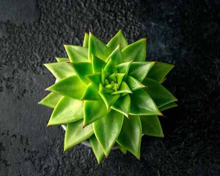 Echeveria agavoides Green leaves with flower bud, Succulent house plant on black background. 스톡 콘텐츠 - 137851892