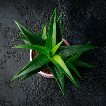 Aloe vera succulent house plant dark green leaves in pink pot, cachepot on black background.