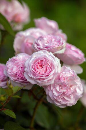 english shrub pink Olivia rose Austin in summer garden.