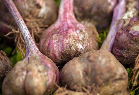 freshly harvested garlic on green background in summer kitchen garden. 스톡 콘텐츠
