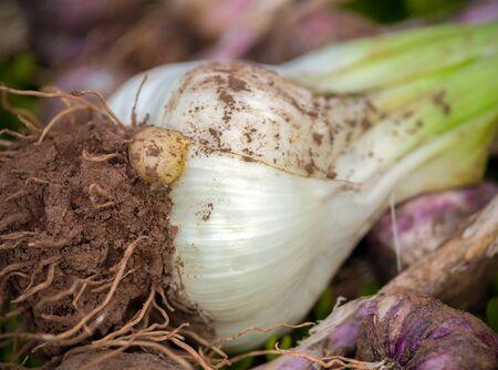 freshly harvested elephant garlic on green background in summer kitchen garden.