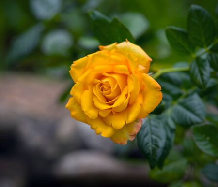 beautiful Yellow rose blooming in summer garden.