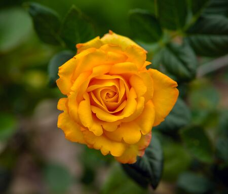 beautiful Yellow rose blooming in summer garden. 스톡 콘텐츠 - 137497609
