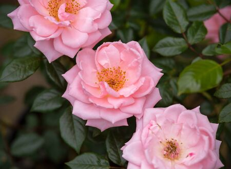 climbing star perfomer pink rose in summer garden. 스톡 콘텐츠 - 137498008
