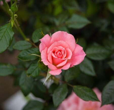 climbing star perfomer pink rose in summer garden.