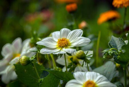 Beautiful white dahlia minion in summer garden. 스톡 콘텐츠