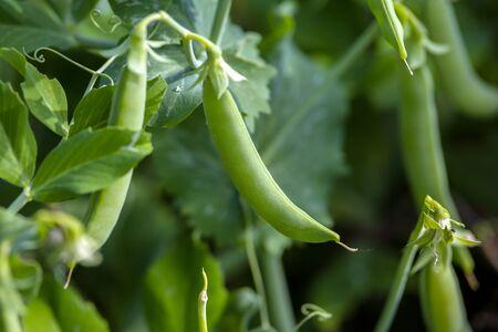 green peas in pods growing in summer garden. 스톡 콘텐츠