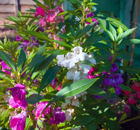 Colorful Busy Lizzie, Impatiens walleriana flowers also called Balsam, flowerbed of blossoms