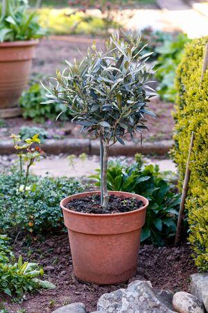 miniature olive tree in pot in spring garden. Stock Photo