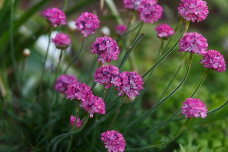 Beautiful pink magenta Sea thrift Armeria Maritima flowers in summer garden.