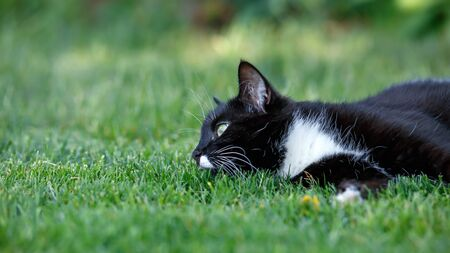 Portrait of a black cat with green eyes and a white jabot laying on green lawn grass in summer garden
