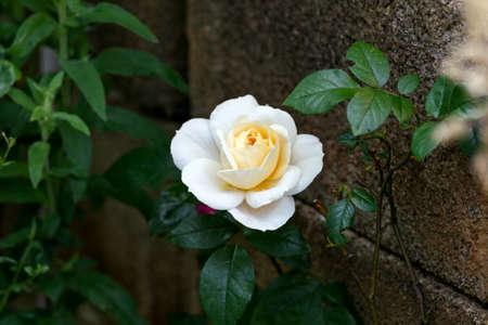 pale yellow rose flower in summer cottage garden