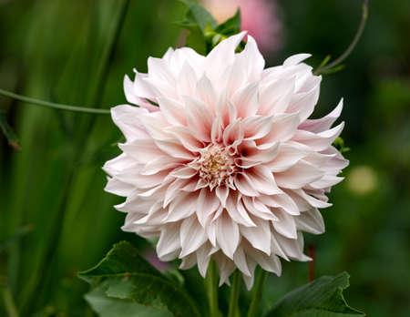 Dahlia Cafe au Lait flower plant growing in summer cottage garden Reklamní fotografie