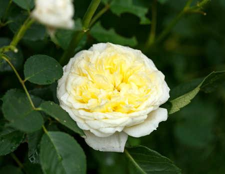 Climbing The Pilgrim yellow David Austin english Auswalker rose in summer garden