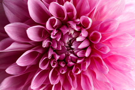 Close up of a huge pink blooming Dahlia flower Cotton candy Hybrid.