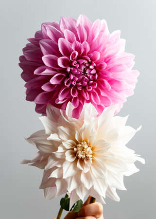 Close up of a huge creme blooming Dahlia Cafe au Lait and Cotton candy Hybrid flowers.