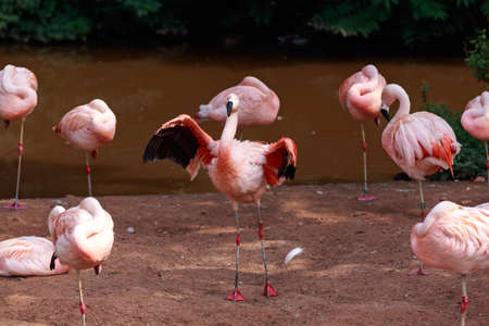 Flock of deep pink Carribbean flamingoes at zoo, spreading the wings.