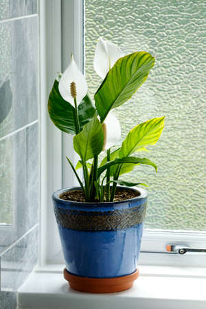 Peace Lily Spathiphyllum spp. Houseplant growing in clay pot on bathroom windowsill. 스톡 콘텐츠