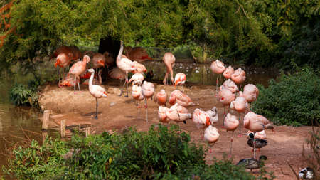 Flock of deep pink Carribbean flamingoes at zoo. 스톡 콘텐츠