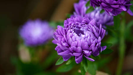 purple aster perennial flowers plant on green leaves background in autumn cottage garden.