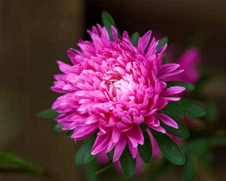 pink aster perennial flowers plant on green leaves background in autumn cottage garden.