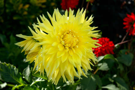 yellow Dahlia Cactus mix hybrid flower as a background growing in summer cottage garden.