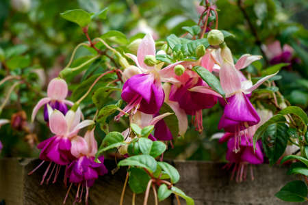 blossoming delicate magenta fuchsia flowers on a natural background