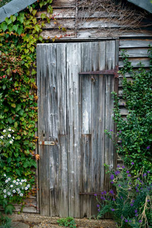 Old wooden garden shed door covered with ivy