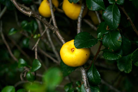 Ripe yellow Japanese Quince Chaenomeles japonica cydonia fruit on branches with leaves in garden