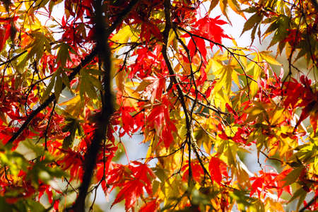 Colorful Japanese acer palmatum autumn leaves as background.