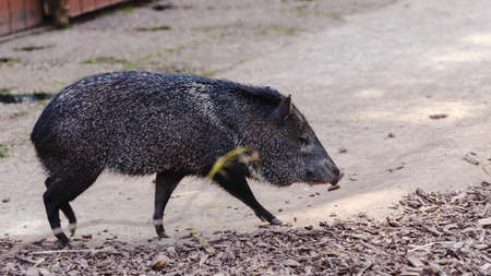 Peccary or skunk pig in zoo inclosure.