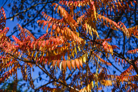 Stag's horn sumach catfish Rhus typhina tree autumn leaves glowing in the sun.