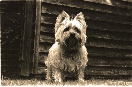 black and white dog with sepia tone. Editöryel
