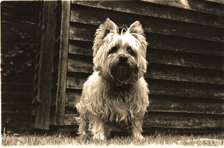 black bitch: black and white dog with sepia tone. Editorial