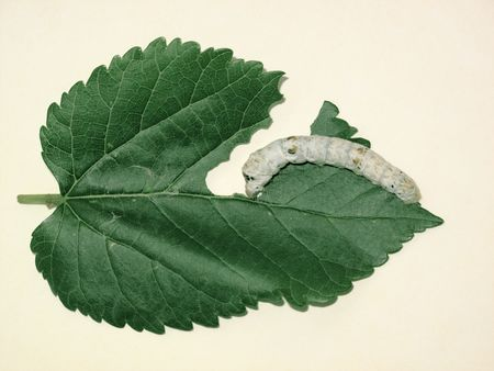 silkworm: Silkworm and mulberry leaf