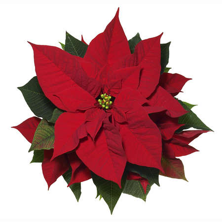 poinsettia: Poinsettia Stock Photo