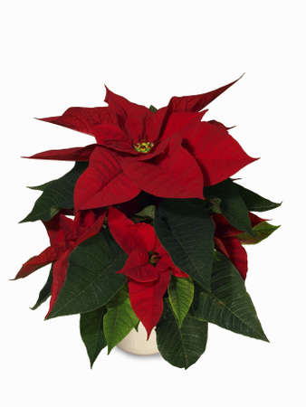 isolated poinsettia (euphorbia pulcherrima) Stock Photo
